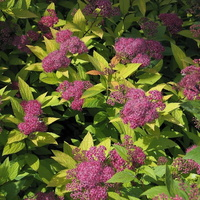 Spiraea-japonica-Goldflame-1
