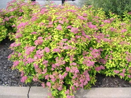 Spiraea-japonica-Goldflame-2