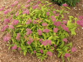 Spiraea-japonica-Goldflame-3