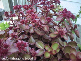 Sedum Dragons Blood Plant-2