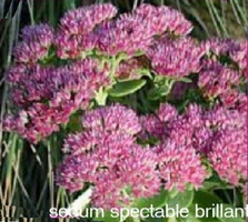 Sedum spectabile brillant