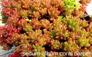 Sedum-album-Coral-Carpet