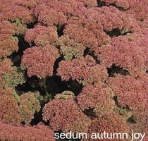 sedum-autumn-joy