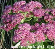 Sedum-spectabile-brillant