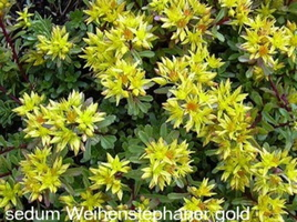 Sedum-Weihenstephaner-Gold